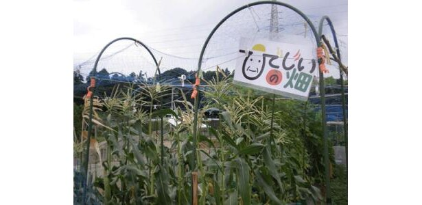 ひでじいの畑。こちらではトウモロコシ。唐辛子も赤く色づいていました