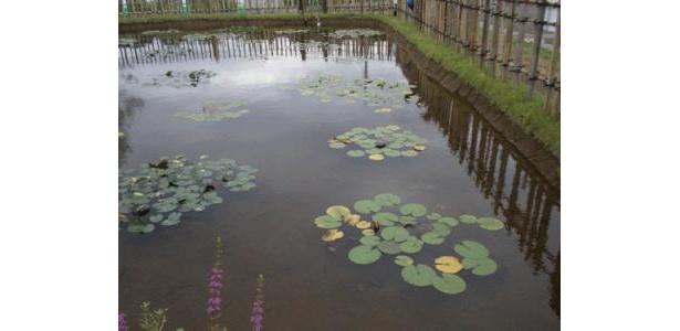 ため池の、ハスのつぼみ。いよいよ夏本番です