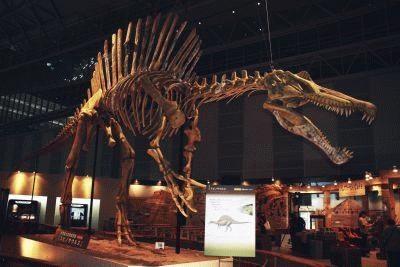 「スピノサウルス」の全身骨格も