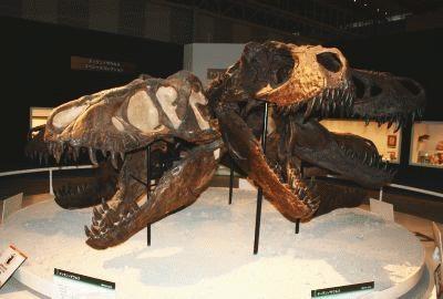 「ティランノサウルス・スペシャルコレクション」では、頭部の骨格も公開