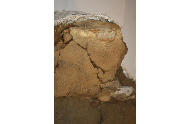 ミイラ化石「ダコタ」はうろこなども鮮明に見ることができる