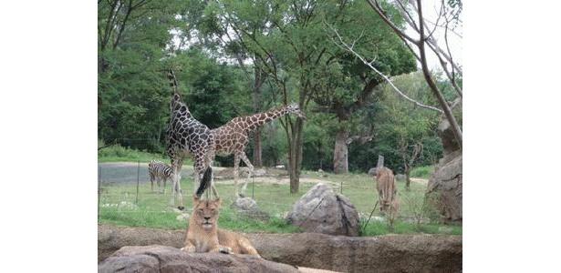 ライオンにキリン… 天王寺動物園がスゴイ!