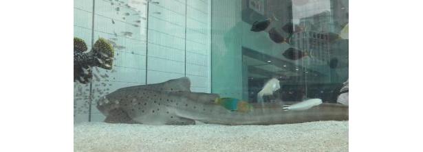 体長1.8m!こんな大型のサメも