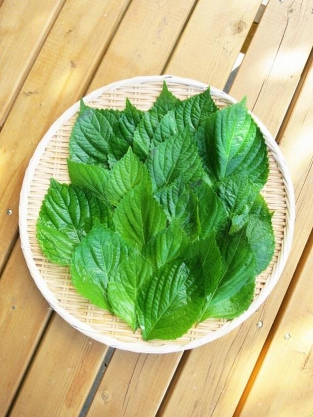 【写真を見る】韓国料理でよく見るえごまの葉
