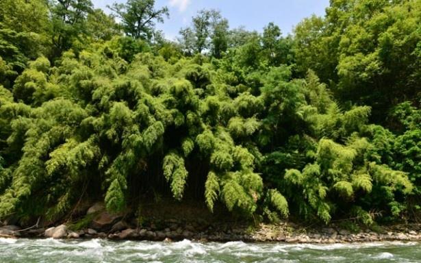 水面に迫りくる竹やぶ。竹林の伐採は、人が通るための通路をつくるところから始まった