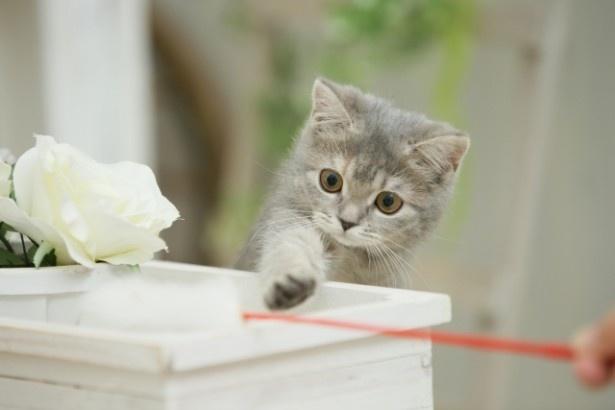 おひつじ座の猫さんのラッキーアイテムは「ピンクのねこじゃらし」
