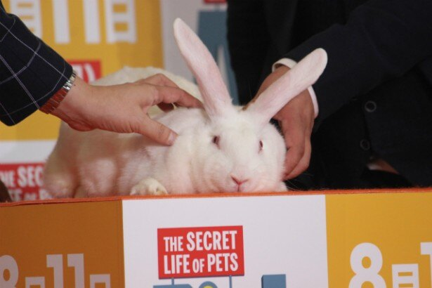 貫禄たっぷりの白ウサギ
