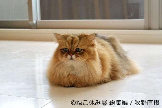 しょんぼり顔の人気猫「ふーちゃん」は、ぬいぐるみ作家のRUBIA-ARGYIとコラボした超巨大ぬいぐるみを展示予定
