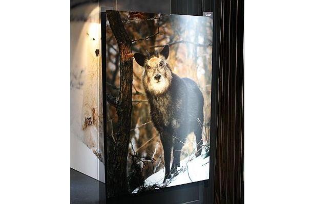 ニホンカモシカ。日本国内の動物の写真も多い