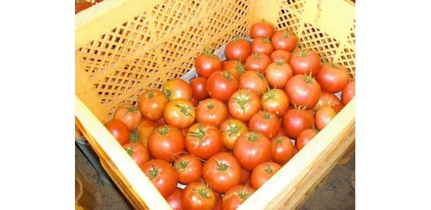 取れたてのトマトたち。出荷をまっています。今年の夏、前半は雨が少なくて、本当においしくできました!