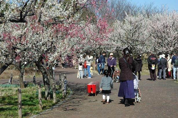 約60種1100本の梅が咲き誇る2月上旬~3月上旬の「梅まつり」の様子(「郷土の森博物館」)