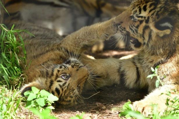 旭山動物園のアムールトラ2頭。放飼場での様子