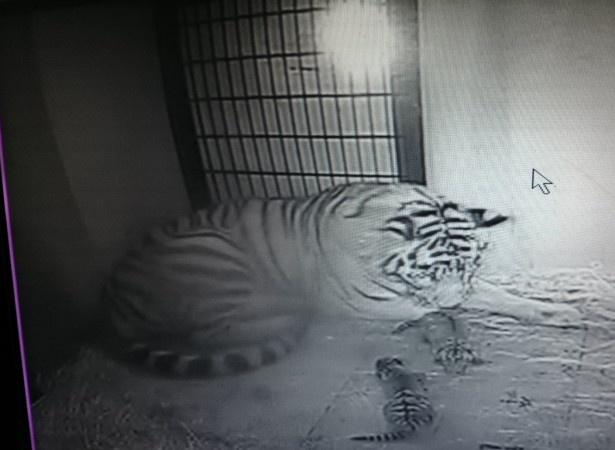 旭川市旭山動物園。2頭を出産した直後のようす