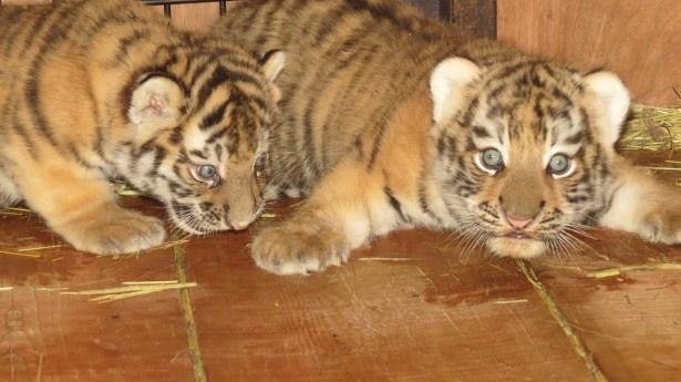 旭川市旭山動物園。寝室の2頭(2016年5月14日に撮影されたもの)
