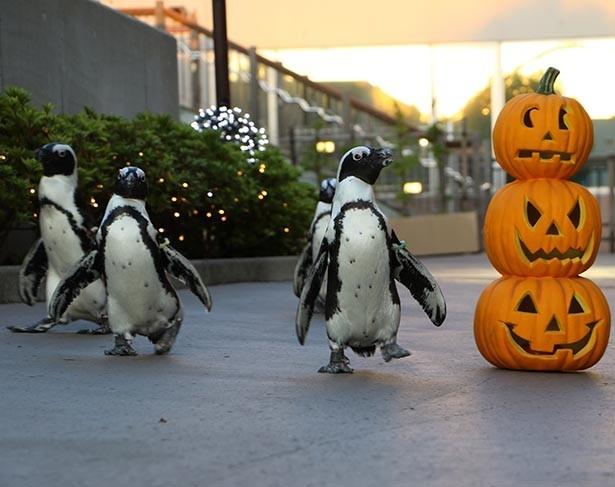 【写真を見る】ケープペンギンたちが、 ハロウィンのカボチャで装飾された道をパレード
