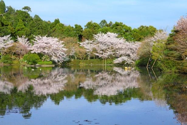 【写真を見る】春は桜、秋は紅葉と、鏡容池の絶景も見どころの一つ