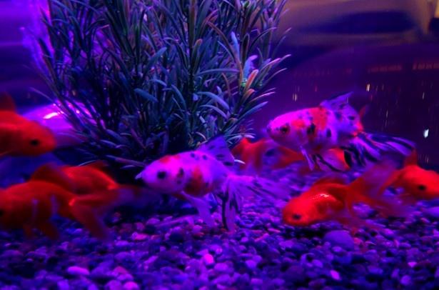 【写真を見る】時間の移ろいとともに変化する光が金魚を照らす