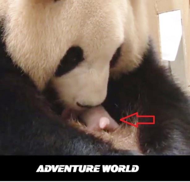 赤ちゃんパンダ(矢印)をぺろぺろしてあやす母パンダ。動画で見るといっそう可愛い!