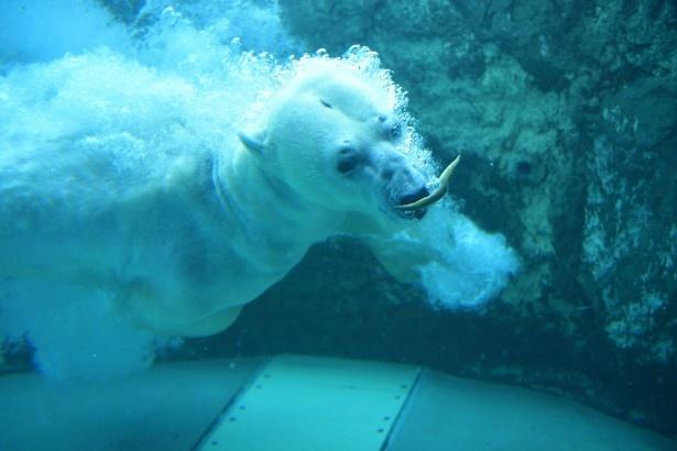 水中にいるもぐもぐタイム中のホッキョクグマ