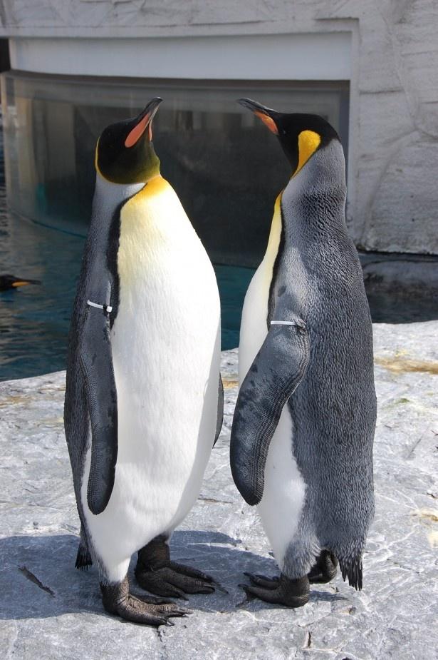 ぺんぎん館のキングペンギン