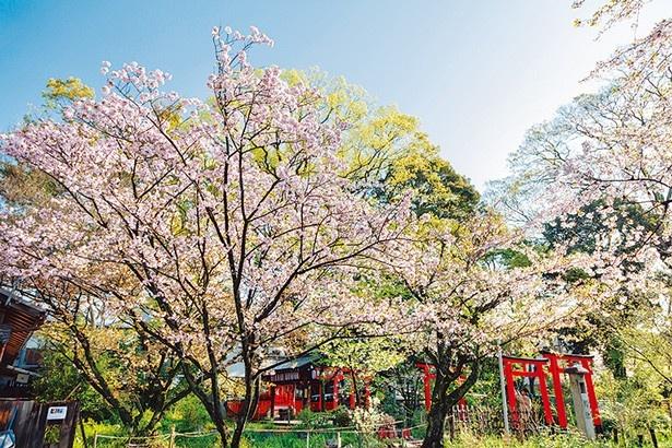 春の表参道では楊貴妃桜などが鳥居と美しいコントラストを描く
