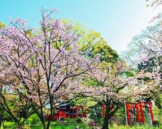 桜の名所の格式ある古社!5分で知る平野神社の見どころ