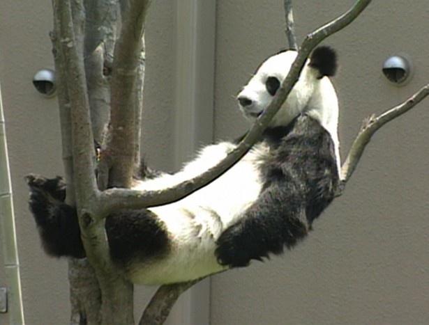 お気に入りの場所である木の上でくつろぐパンダ
