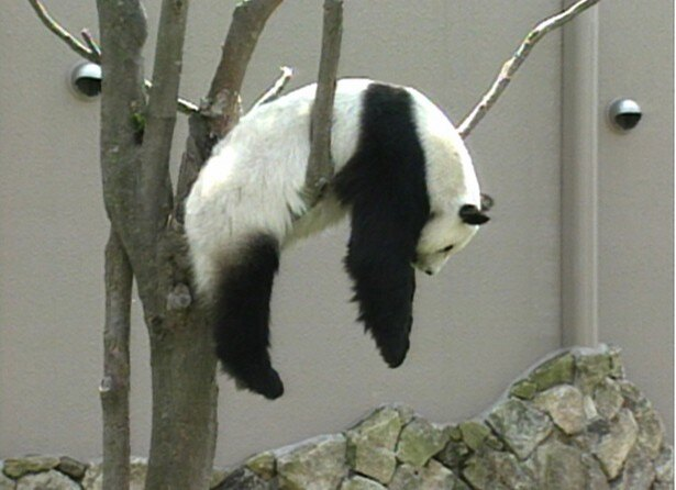 【写真を見る】油断しきるパンダ