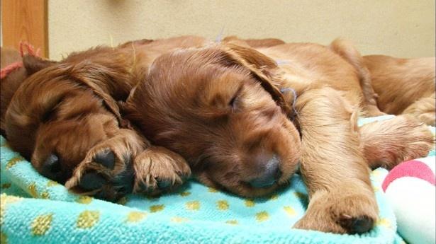 【写真を見る】スヤスヤ眠る子犬たちのかわいらしい姿は見逃し厳禁!