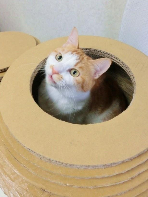 おうし座猫さんのラッキーアイテムは「ピッタリサイズの段ボール」。いいものが見つかったら引っ越しを