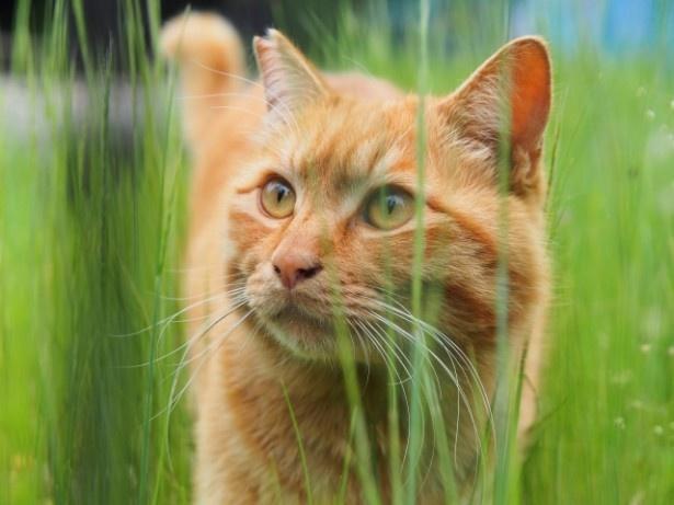 ラッキーアイテムは「新鮮な猫草」。毛づくろいを楽しむなら、草もたっぷり食べて