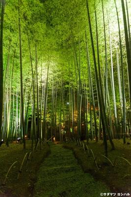 ライトアップされた竹林は、神々しい空気に包まれた独特の雰囲気!