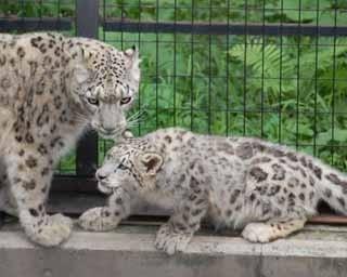 旭山動物園のユキヒョウ親子。左がジーマ、右がリヒト(2016年9月13日撮影)