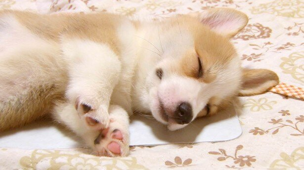 スヤスヤ眠るかわいらしい子犬たち