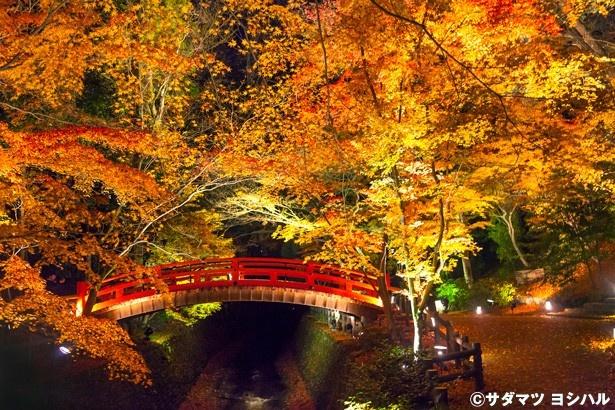 御土居のもみじ苑にかかる鶯橋の朱色と見事な紅葉、紙屋川を流れる散りモミジが光に照らされる