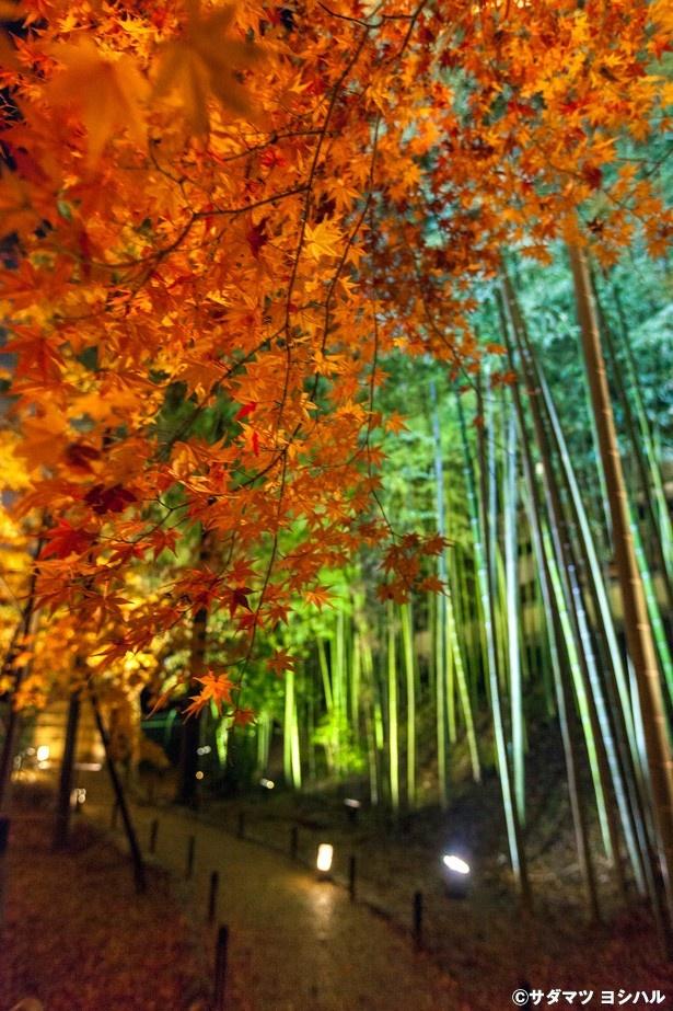 鮮やかな緑の竹林と真っ赤な木々の対比が絶妙なシャッタースポット