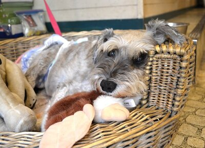 看板犬であるシュナウザーのモモちゃん(メス)、11歳。お客さんにも慣れっこ