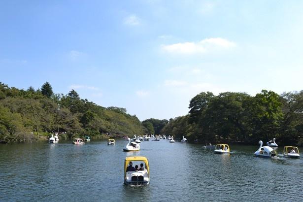 休日はスワンや手漕ぎボートで大混雑(「井の頭恩賜公園」)