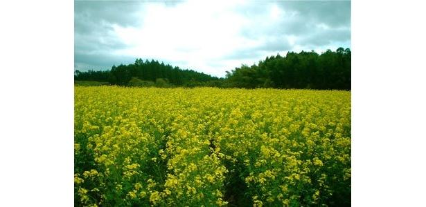 春、畑は一面の菜の花になります。それを見て「おいしそう」と感じる私は変?