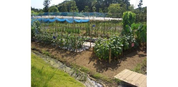畑の全景。20種以上の野菜たちがスクスク育つ! なんか励まされる風景です♪