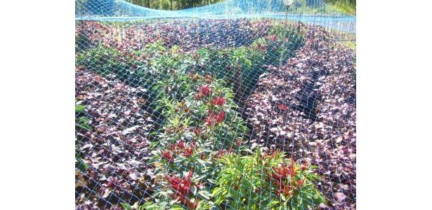 「Y」の文字は唐辛子で。通常11月に収穫ですが、イベントにあわせて苗を改良した