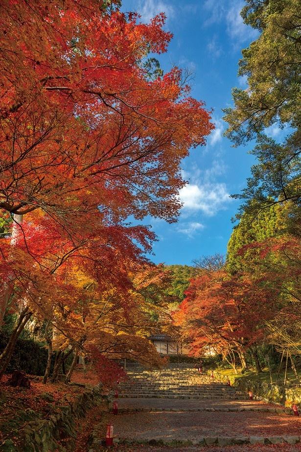 総門へと続いている参道を歩きつつ両側の紅葉を眺めよう。本堂周辺の紅葉も見事/二尊院