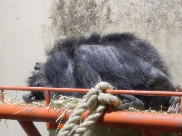 旭山動物園・ワラで寝るチンパンジーのようす(2016年10月撮影)