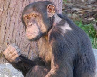 旭山動物園・チンパンジー館1(2016年10月撮影)
