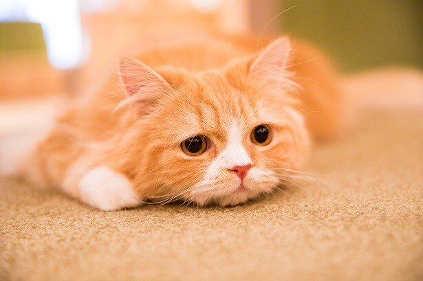おしゃれすぎる猫カフェとして注目を集める「猫カフェMoCHA」