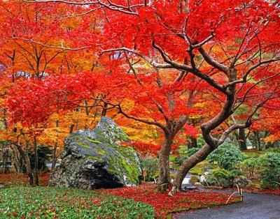 シーズンのピークを迎えると、庭内の紅葉は燃えるような赤に染まる