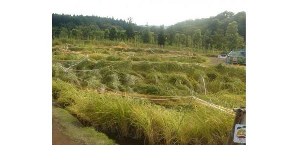 収穫目前の稲が風になびいています