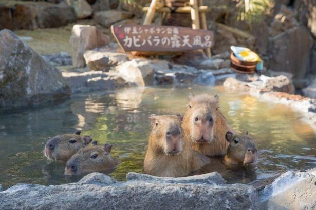 足湯をしながら、入浴中のカピパラ風呂が目の前に‼ しかも新宿駅前だなんて、嬉しい驚きがたくさん