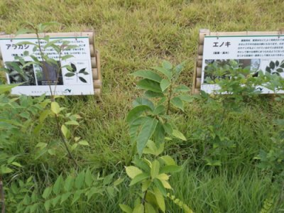 苗木になる種類の解説も見られます