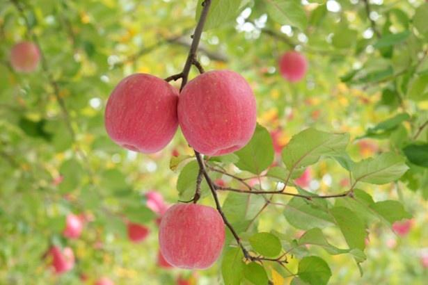 【写真を見る】リンゴ狩りは11月まで楽しめる